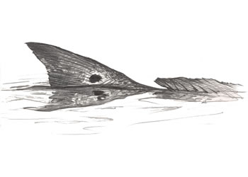 Redfish TailingRedfish Drawing