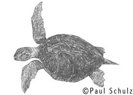 Sea Turtle Sketches http://www.paulschulz.com/art_gallery.asp